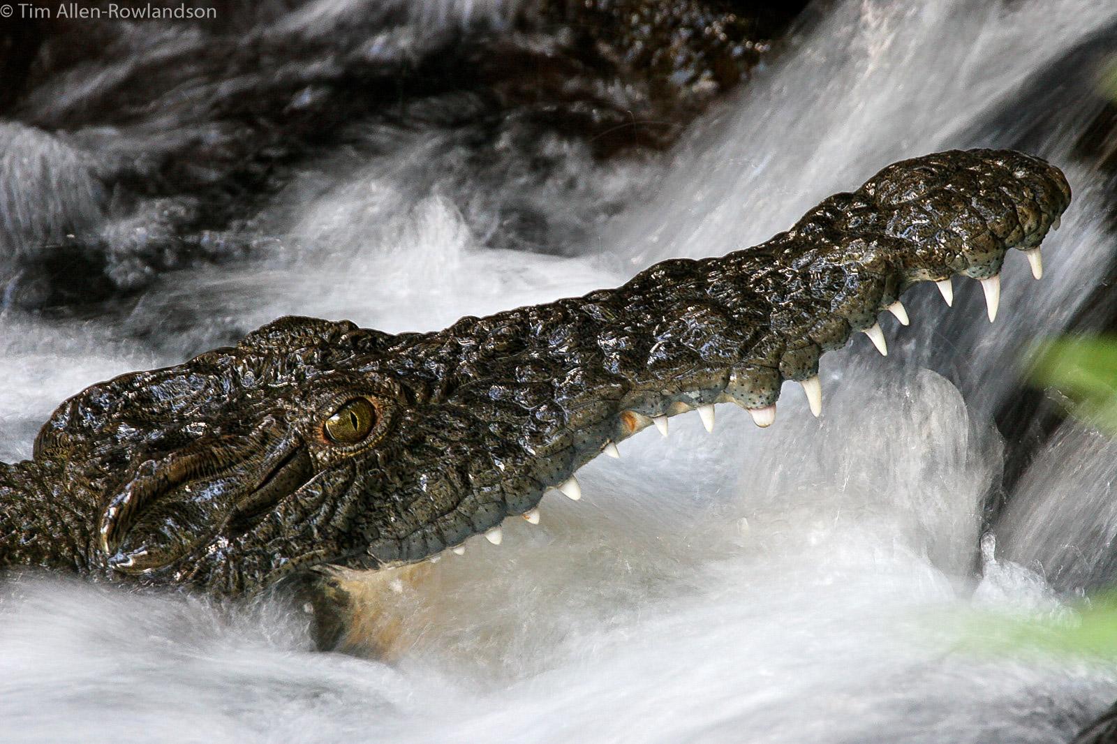 Crocodile fishing in a stream, Tsavo