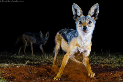 A pair of black-backed jackals at night. Tsavo