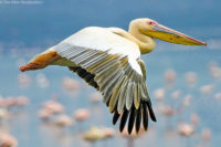 Great white pelican in flight, Nakuru