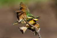 Juvenile little bee-eater landing partially on its parent, Masai Mara