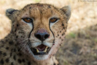 Female cheetah resting in the shadow of my car having brought down an impala for her four juvenile cubs, Masai Mara