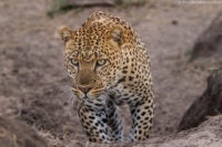 Male leopard climbing up a dry lugga (gulley) in the late afternoon, Masai Mara