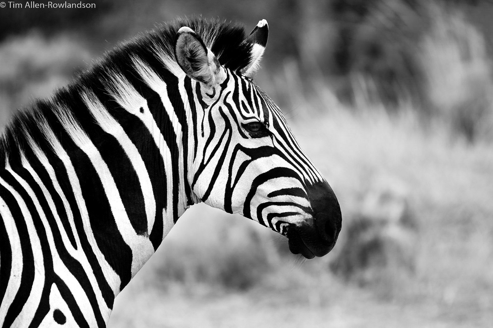 Black and white zebra portrait, Masai Mara