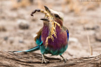 Lilac-breasted roller with a scorpion, which it subsequently fed to its chick, Amboseli