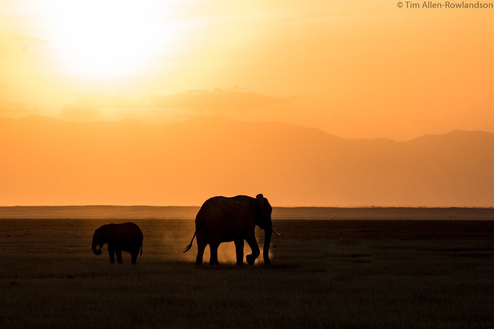 Elephant and calf foraging at sunset, Amboseli