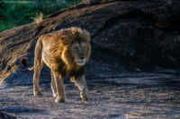 Male lion on the move as the sun sets, Masai Mara