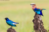 Lilac-breasted roller (right) and superb starling (left) on adjacent perches