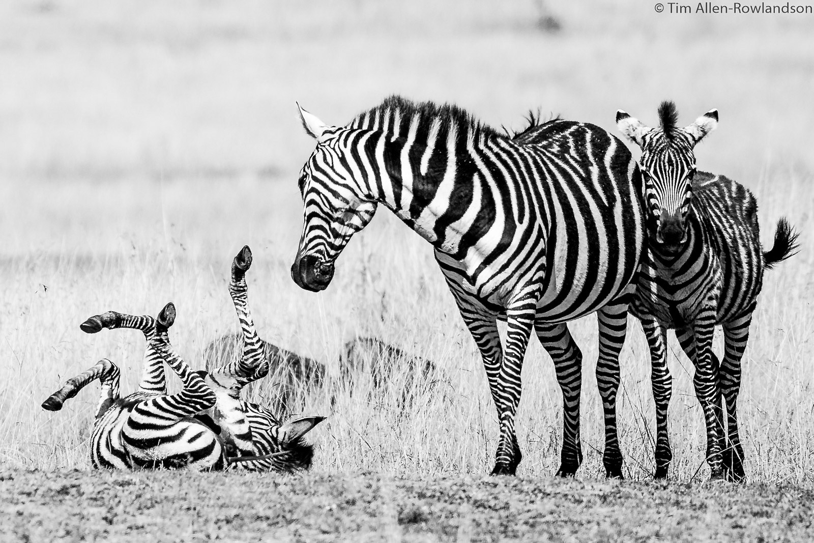 Zebra foal dusting while mother looks on, Masai Mara