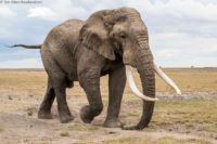 Large bull elephant in musth dragging his trunk on the ground, Amboseli
