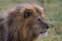 Male lion watching intently as a female approaches, just as it starts to rain, Masai Mara