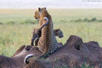 Leopard and cub on a termite mound in the late afternoon, looking for potential prey, Serengeti