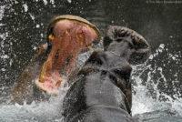Hippos sparring, Tsavo