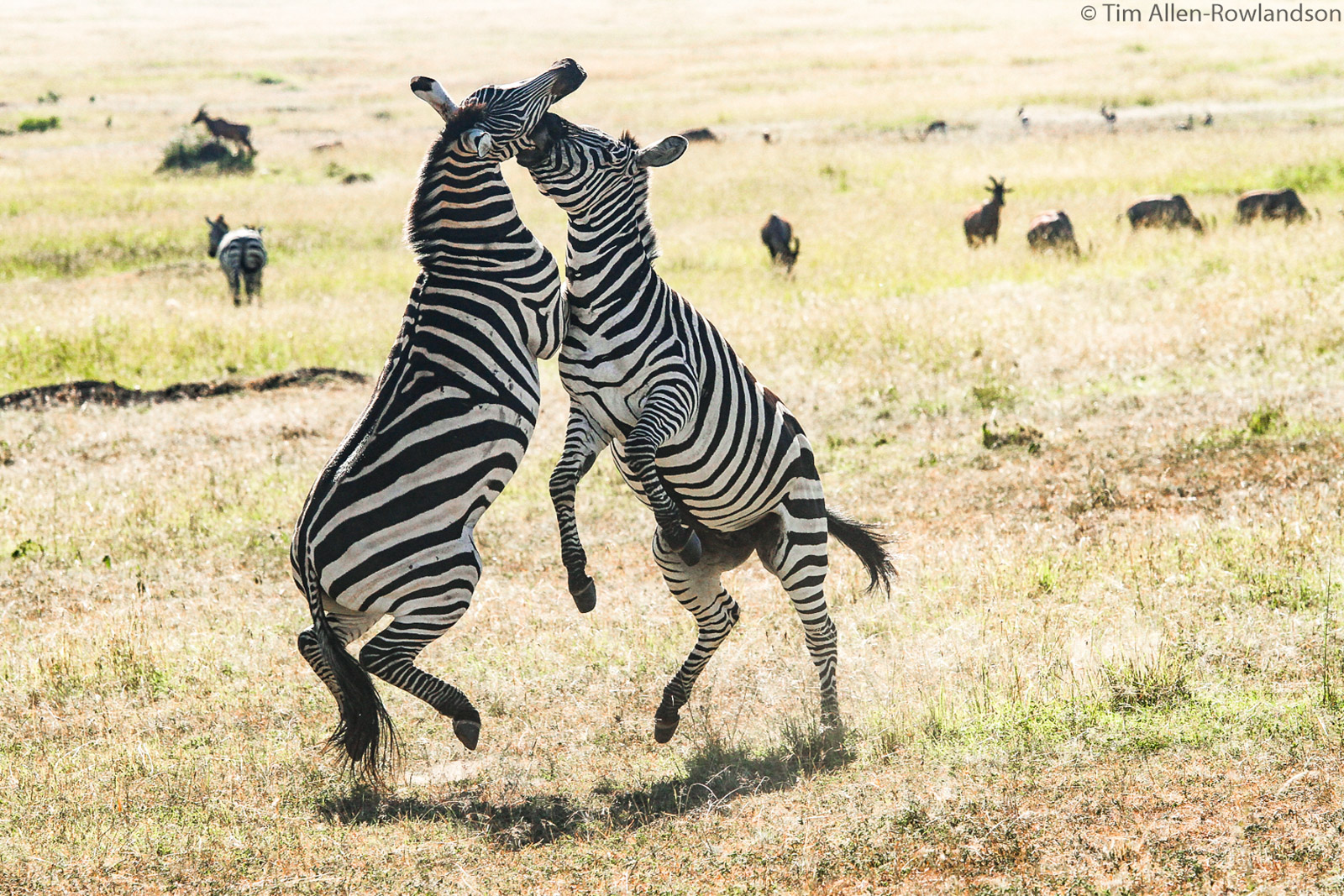 Two zebras fighting, with seven of eight hooves off the ground !