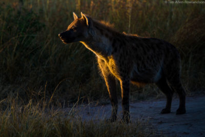 Spotted hyena emerges from the den, late afternoon, Masai Mara