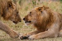 Two young males greeting, Masai Mara
