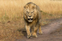 Approaching male lion with closed left eye - this was injured in an earlier fight, Masai Mara