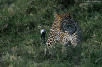 Young female leopard at dusk, Nakuru