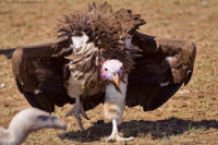 Typical intimidation/threat posture of a lappet-faced vulture approaching a carcass. Masai Mara