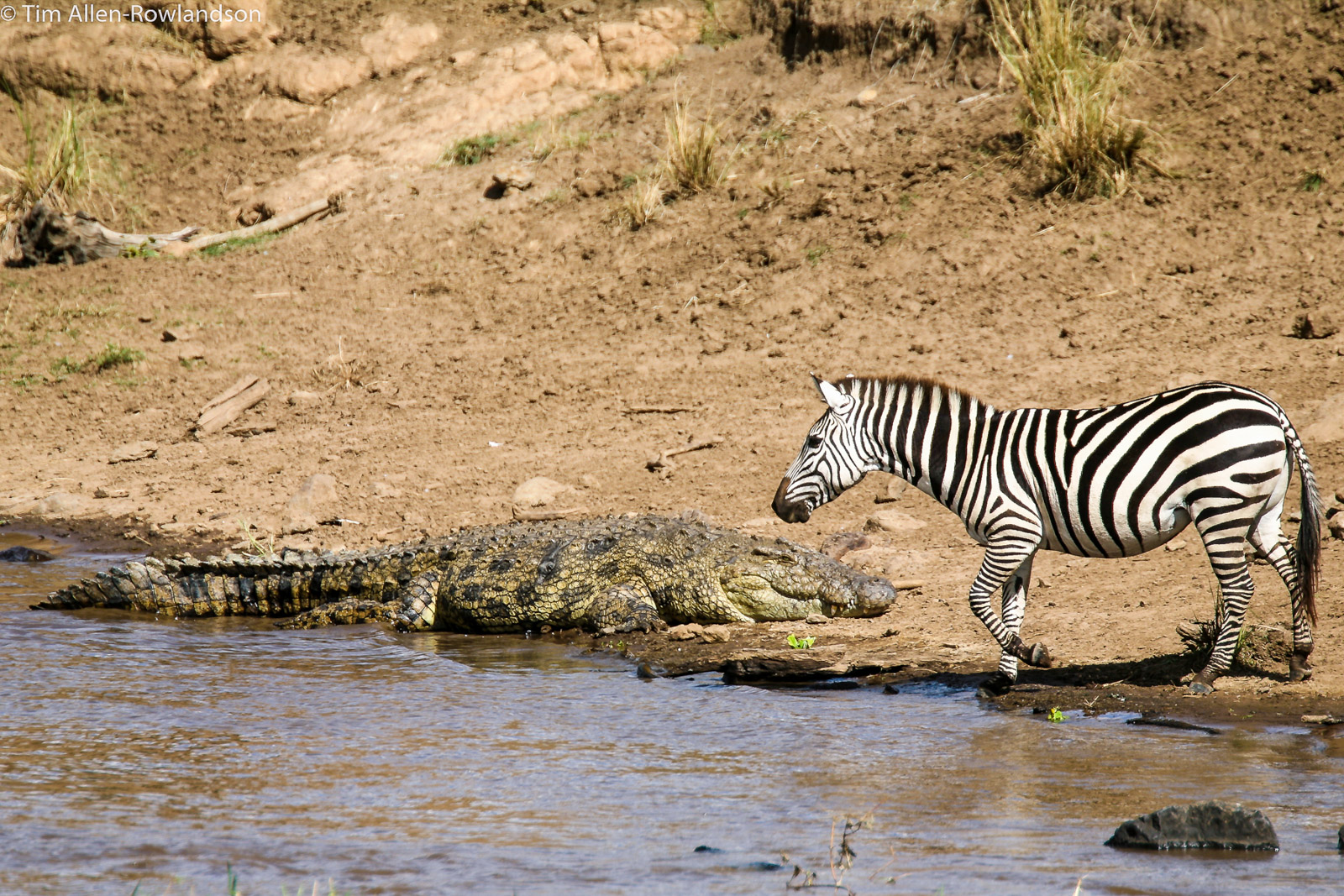 Zebra calmly entering the Mara River, closely passing a basking crocodile.