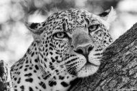 Male leopard resting, Masai Mara