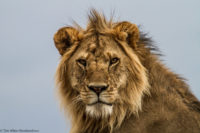 Young male lion looking down at me from a small kopje, Masai Mara