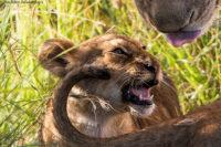 Lioness grooming her cubs, Masai Mara
