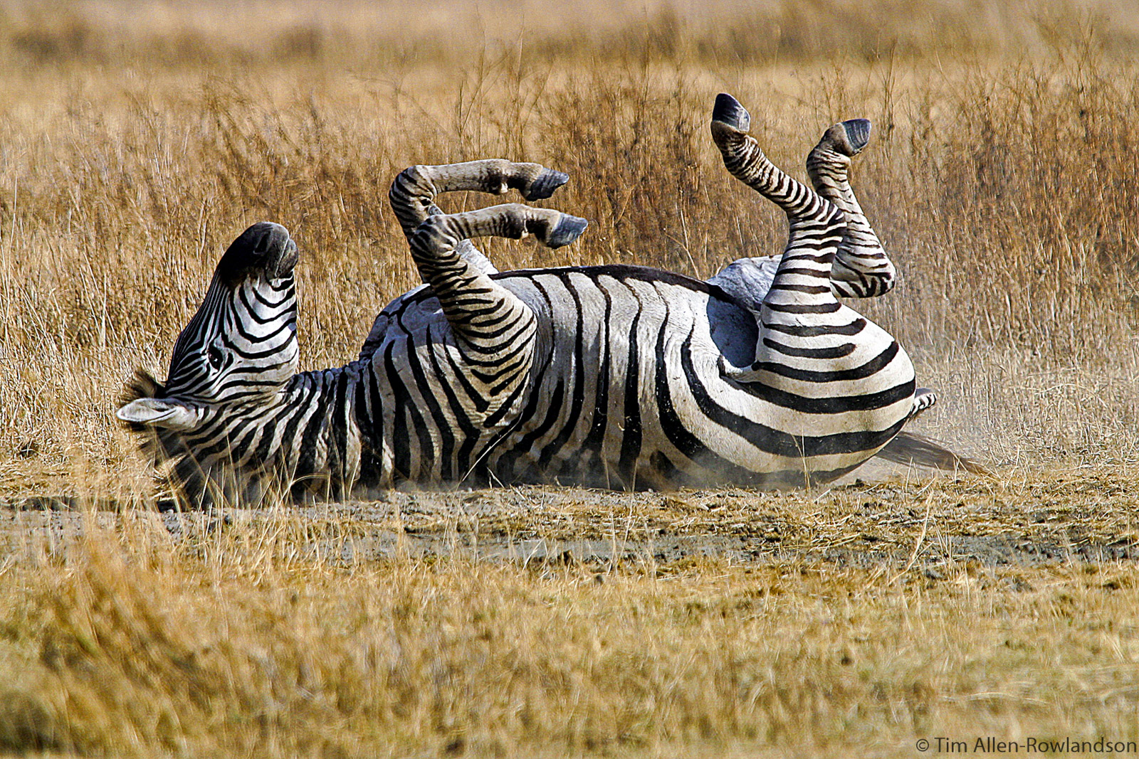 Zebra dustbathing in the Ngorongoro Crater, Tanzania. Zebra often have specific places where they roll in the dust, and there is often a waiting line where the order depends on social rank.