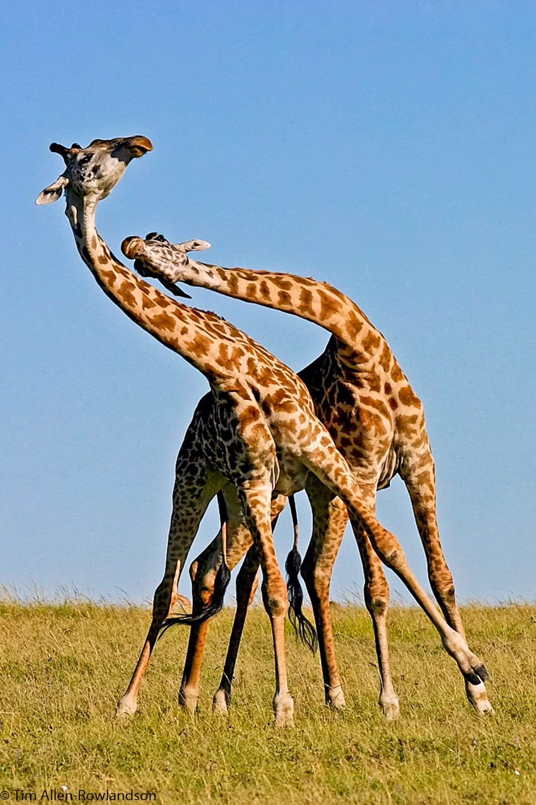 Male giraffes necking (sparring), Masai Mara
