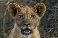 Dark and dirty face of a lion cub, Tsavo