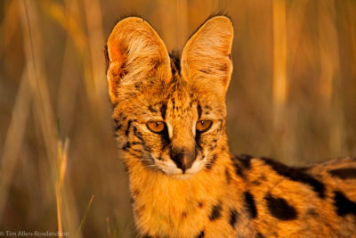 Bathed in the warm light of an African sunset, this serval was hunting rodents in the long grass in the Masai Mara
