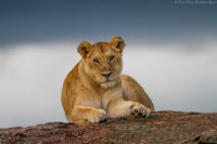 Lioness resting on a kopje as a storm approaches, Masai Mara
