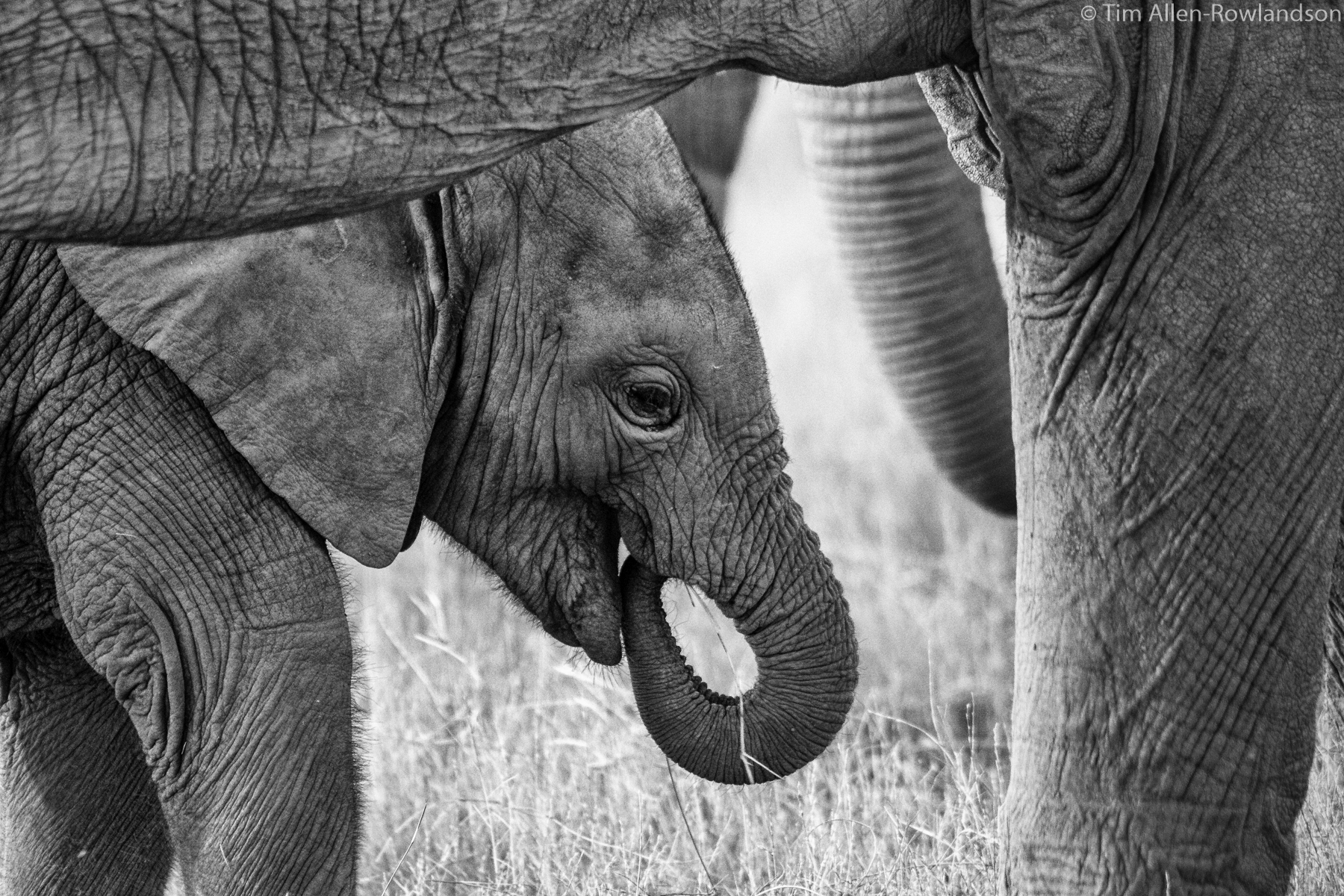 Elephant calf keeping close to its mother, Amboseli