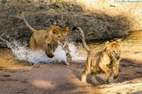 Young lions playing, Masai Mara