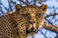 Male leopard, late afternoon, Masai Mara