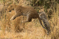 Female leopard playing with one of her two cubs, Masai Mara