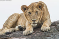 Young male lion resting on a kopje, Masai Mara