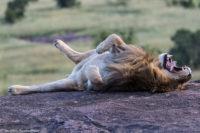 Lion yawning, Masai Mara