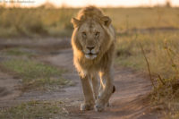 One of two brothers on early morning patrol - lions frequently use tracks and trails for easier and quieter movement. Masai Mara