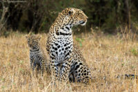 Female leopard and cub, Masai Mara