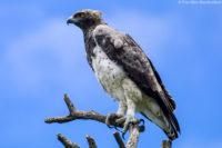 Martial eagle, Kruger