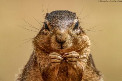 Ground squirrel portrait, Tsavo