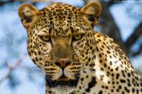 Male leopard portrait, Masai Mara