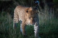 Male leopard on the move at dusk, Masai Mara