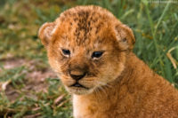 Lion cub, just a few weeks old, Masai Mara
