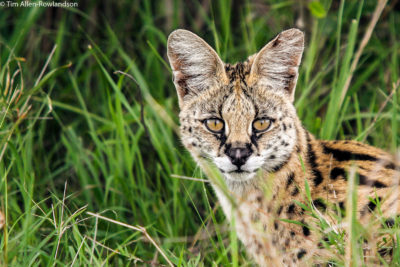 Serval in typical grassland habitat, Masai Mara
