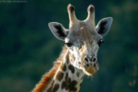 Young giraffe in light rain. Arusha N.P.