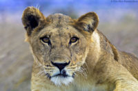 Lioness portrait using off-camera flash, Tsavo