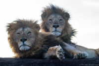 Two male lions resting on a kopje, Masai Mara