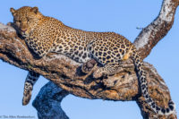 Male leopard resting on an open branch in the early morning, Masai Mara