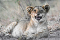 Lion cub yawning, Masai Mara